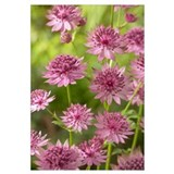 Greater Masterwort (Astrantia major) roma variety