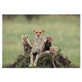 Cheetah mother and eight to nine week old cubs
