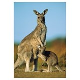 Eastern Grey Kangaroo joey reaching into mother's