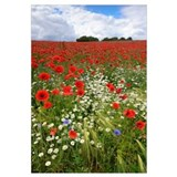 Field with flowering Red Poppies (Papaver rhoeas)