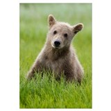 Grizzly Bear yearling cub among sedges