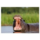 Hippopotamus displaying