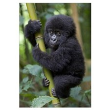 Mountain Gorilla 10 month old infant