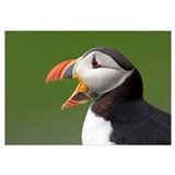 Portrait of an Atlantic Puffin yawning