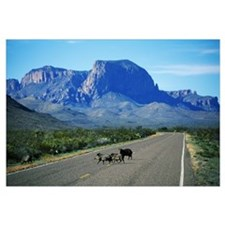 Javelina Animals Crossing Road