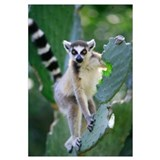Ring-tailed Lemur eating Opuntia cactus
