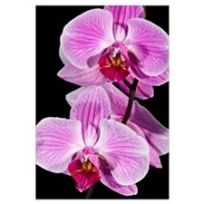 Orchid (Phalaenopsis sp) flowering, Beveren-Waas,