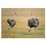 Ostrich female chasing away rival