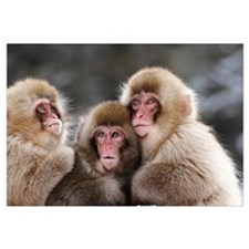 Three Japanese Macaque babies warming each other