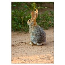 Rear View Of Desert Cottontail Rabbit