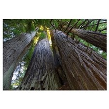 Low-Angle View Of Redwood Trees