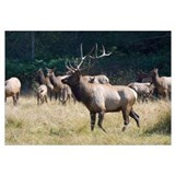 Roosevelt Bull Elk With Herd