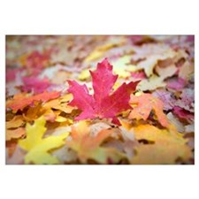 Fallen Autumn Color Maple Tree Leaves