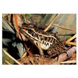 Pickerel Frog In Leaf Litter