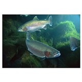 Rainbow Trout pair underwater