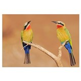 Two White-fronted Bee-eaters perched on a branch