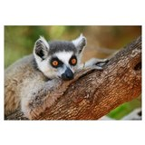 Ring-tailed Lemur resting on a tree branch