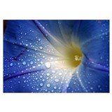 Waterdrops on Morning Glory