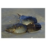 Horseshoe Crabs Mating In Sand