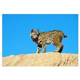 Low Angle View Of Bobcat On Sandstone Ridge