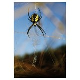 Black-And-Yellow Argiope Spider (Argiope Aurantia)