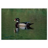 Male Wood Duck On Sandy River