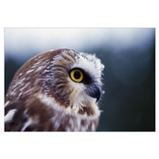 Saw-whet owl (Aegolius acadicus), portrait profile