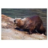 River otter (Lutra canadensis) shaking water from