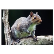 Eastern gray squirrel (Sciurus caroliniensis) on l