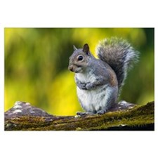 Eastern gray squirrel (Sciurus caroliniensis) on m