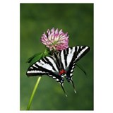 Zebra swallowtail butterfly on clover flower bloss