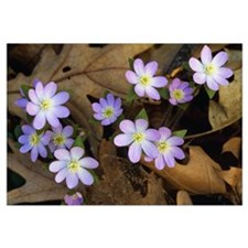 Hepatica flowers growing through fallen leaves, cl
