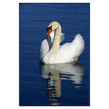 Mute swan on calm water, Michigan