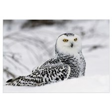 Snowy owl in snow, Michigan