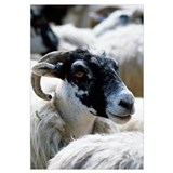 Black-faced sheep, portrait profile, Isle of Mull,