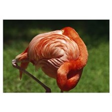 Flamingo with head resting on back, close up.