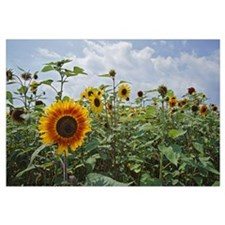 Sunflowers (Helianthus annuus) blooming in field,