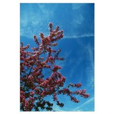 Low angle view of red prairie crabapple flowers (M