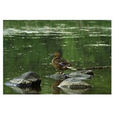 Mallard duck (Anas platyrhynchos) on rock in pond,
