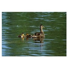 Mallard duck (Anas platyrhynchos) swimming with du