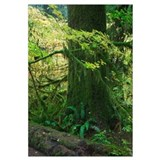 Moss draping tree branches in old-growth forest, H