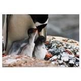 Adult gentoo penguin with chicks, close up, Antarc