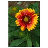 High angle view of blanket flower blooming (Gallar