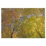 Autumn color maple tree canopy, Mille Lacs Kathio