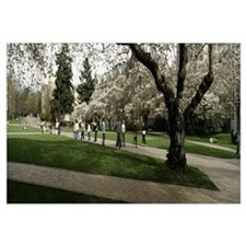 Cherry trees in the quad of a university, Universi