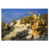 Bristlecone pine on hillside, White mountains, Cal