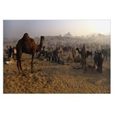 Camels in a fair, Pushkar Camel Fair, Pushkar, Raj