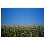 Corn crop growing in a field, Gilroy, California