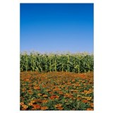 Flowers growing in front of a corn field, Gilroy,