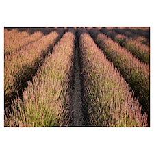 Rows Lavender Field Pays de Sault Provence France